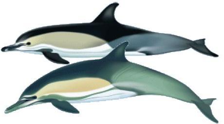 COMMON DOLPHIN Delphinus delphis (short-beaked) & Delphinus capensis (long-beaked)